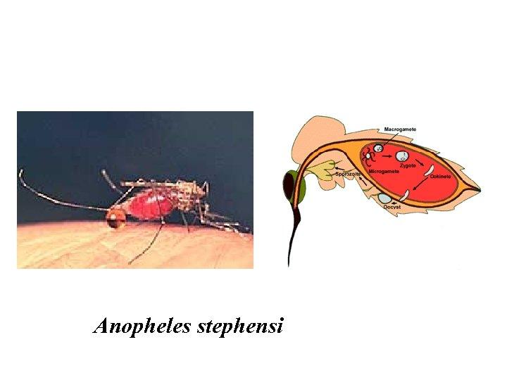 Anopheles stephensi