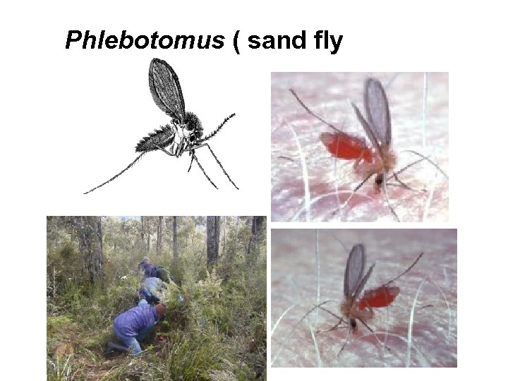 Phlebotomus ( sand fly