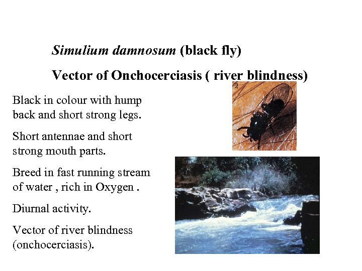Simulium damnosum (black fly) Vector of Onchocerciasis ( river blindness) Black in colour with
