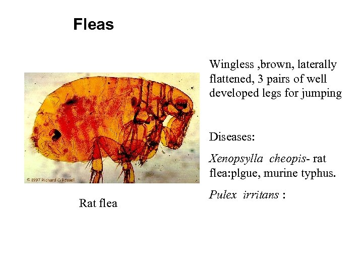 Fleas Wingless , brown, laterally flattened, 3 pairs of well developed legs for jumping