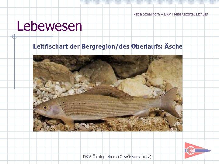 Petra Schellhorn – DKV Freizeitsportausschuss Lebewesen Leitfischart der Bergregion/des Oberlaufs: Äsche DKV-Ökologiekurs (Gewässerschutz)