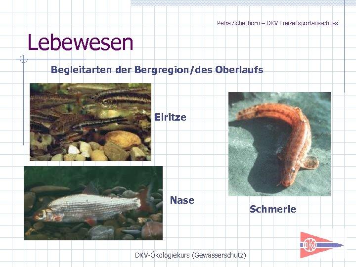 Petra Schellhorn – DKV Freizeitsportausschuss Lebewesen Begleitarten der Bergregion/des Oberlaufs Elritze Nase DKV-Ökologiekurs (Gewässerschutz)