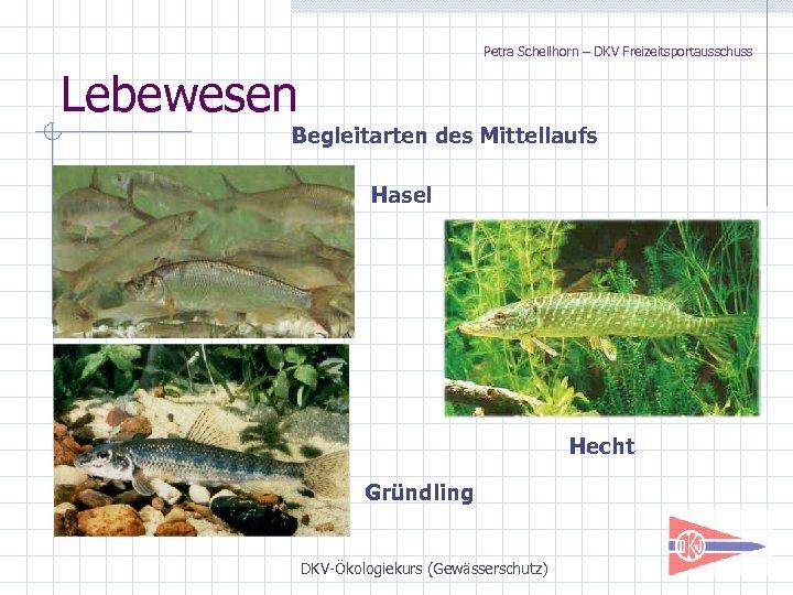 Petra Schellhorn – DKV Freizeitsportausschuss Lebewesen Begleitarten des Mittellaufs Hasel Hecht Gründling DKV-Ökologiekurs (Gewässerschutz)