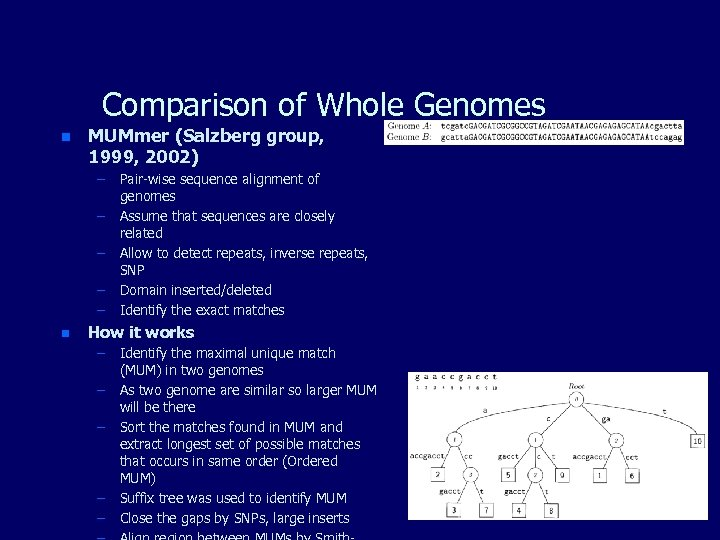 Comparison of Whole Genomes n MUMmer (Salzberg group, 1999, 2002) – Pair-wise sequence alignment