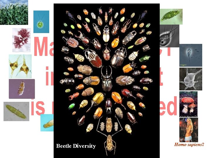 Beetle Diversity Homo sapiens?