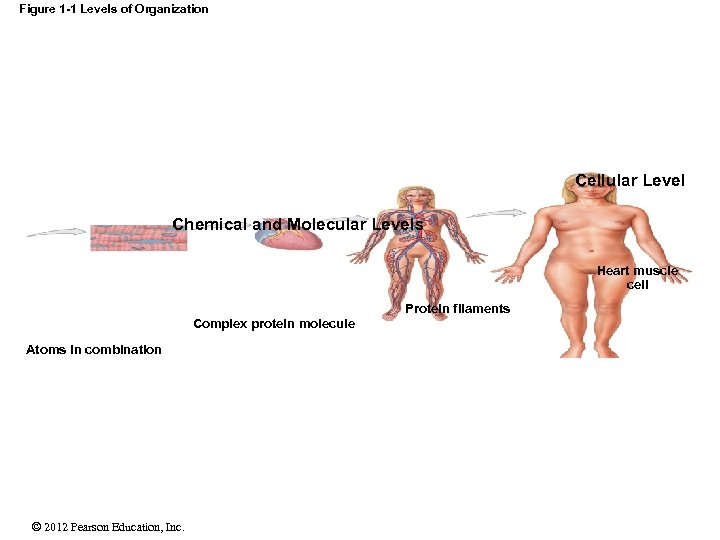 Figure 1 -1 Levels of Organization Cellular Level Chemical and Molecular Levels Heart muscle
