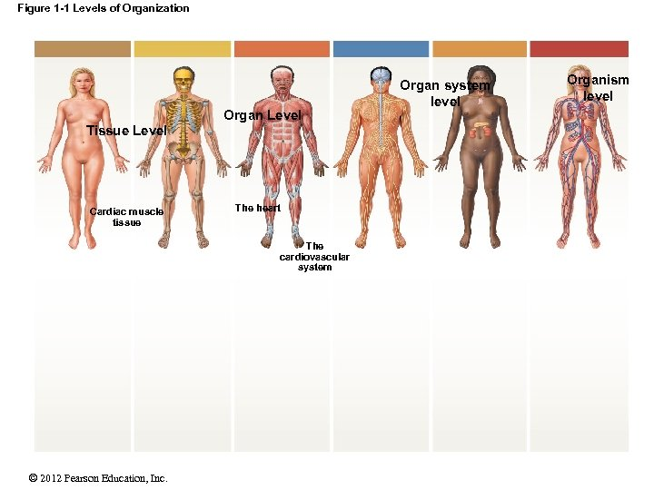 Figure 1 -1 Levels of Organization Organ Level Tissue Level Cardiac muscle tissue The