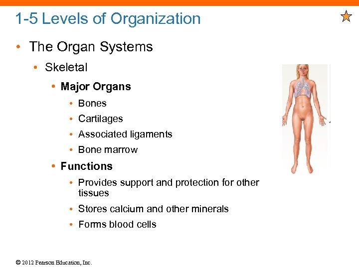 1 -5 Levels of Organization • The Organ Systems • Skeletal • Major Organs