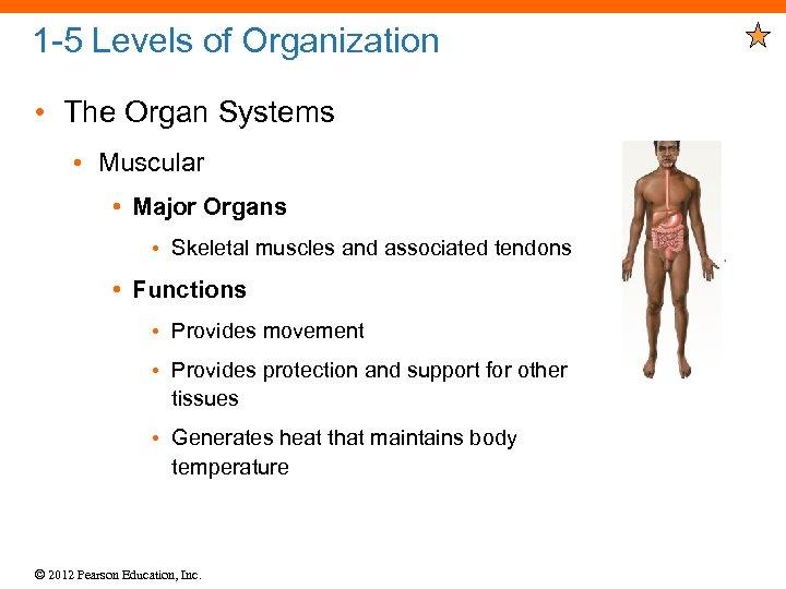 1 -5 Levels of Organization • The Organ Systems • Muscular • Major Organs