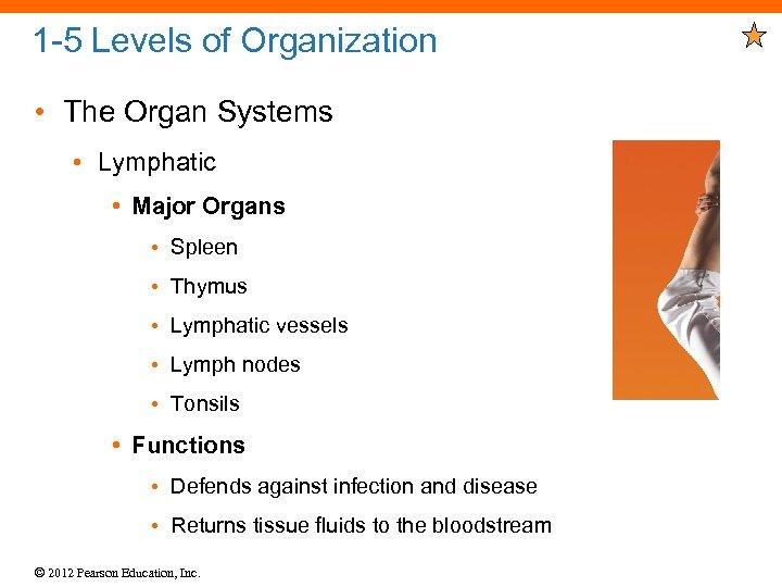 1 -5 Levels of Organization • The Organ Systems • Lymphatic • Major Organs