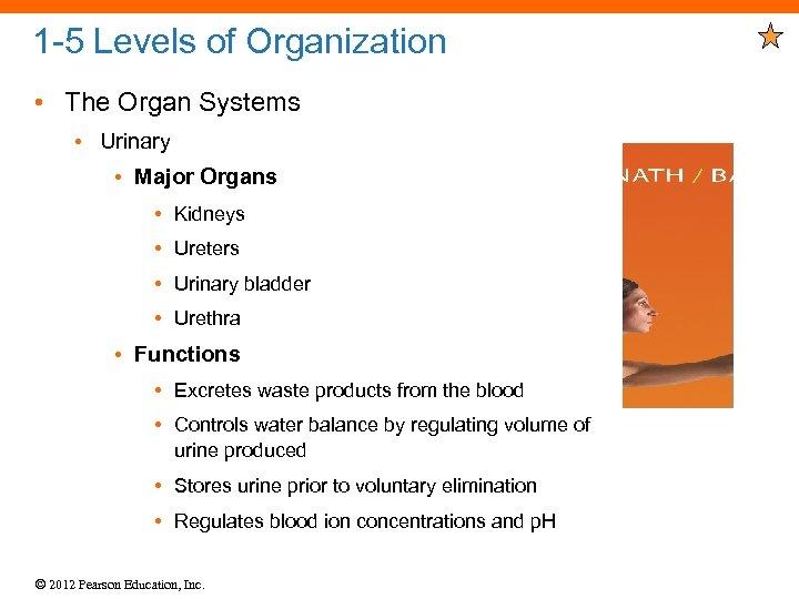 1 -5 Levels of Organization • The Organ Systems • Urinary • Major Organs
