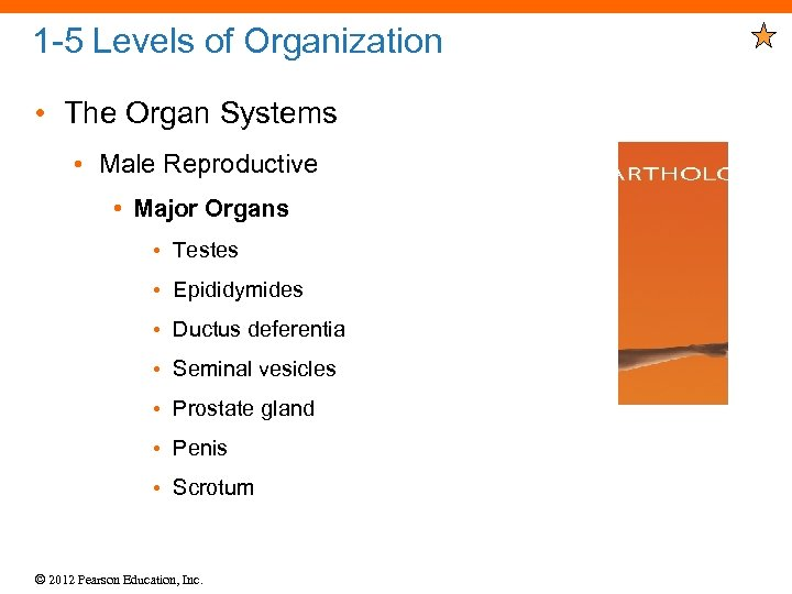 1 -5 Levels of Organization • The Organ Systems • Male Reproductive • Major