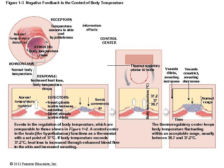Figure 1 -3 Negative Feedback in the Control of Body Temperature RECEPTORS Temperature sensors