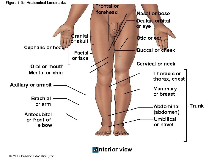 Figure 1 -5 a Anatomical Landmarks Frontal or forehead Cranial or skull Cephalic or