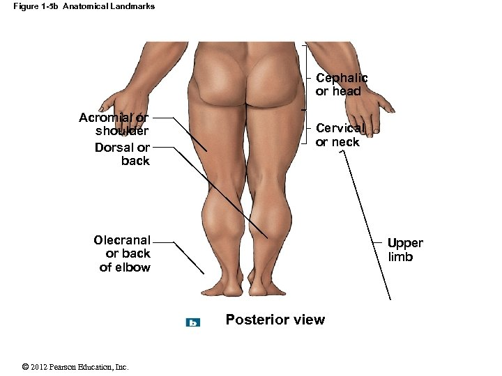 Figure 1 -5 b Anatomical Landmarks Cephalic or head Acromial or shoulder Dorsal or