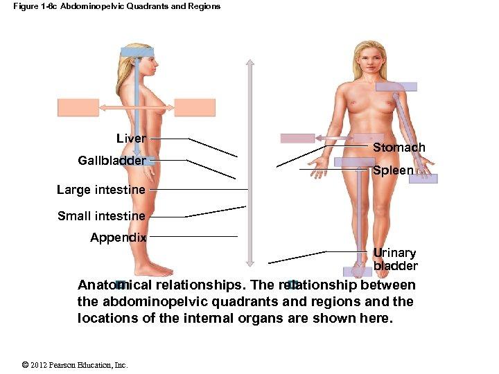 Figure 1 -6 c Abdominopelvic Quadrants and Regions Liver Gallbladder Stomach Spleen Large intestine