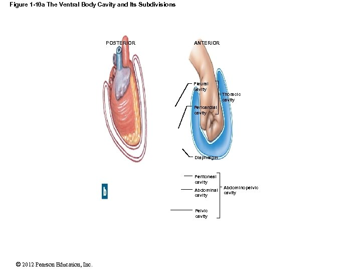 Figure 1 -10 a The Ventral Body Cavity and Its Subdivisions POSTERIOR ANTERIOR Pleural
