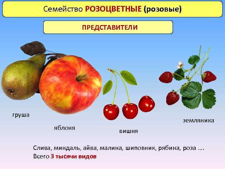 Семейство РОЗОЦВЕТНЫЕ (розовые) ПРЕДСТАВИТЕЛИ груша яблоня земляника вишня Слива, миндаль, айва, малина, шиповник, рябина,