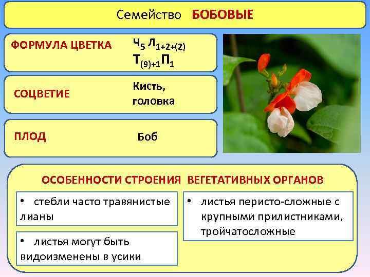 Семейство БОБОВЫЕ ФОРМУЛА ЦВЕТКА Ч 5 Л 1+2+(2) СОЦВЕТИЕ Кисть, головка ПЛОД Т(9)+1 П