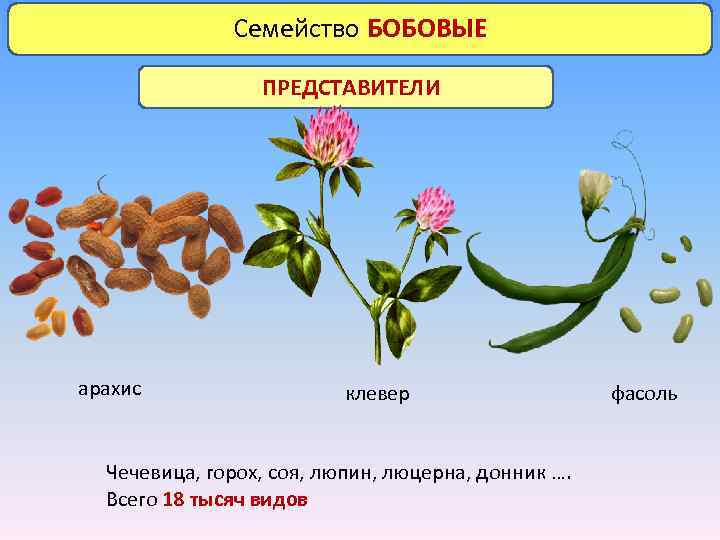 Семейство БОБОВЫЕ ПРЕДСТАВИТЕЛИ арахис клевер Чечевица, горох, соя, люпин, люцерна, донник …. Всего 18