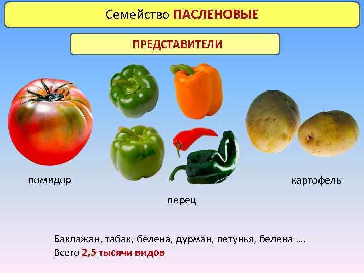 Семейство ПАСЛЕНОВЫЕ ПРЕДСТАВИТЕЛИ помидор картофель перец Баклажан, табак, белена, дурман, петунья, белена …. Всего