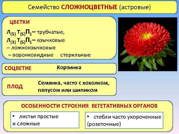 Семейство СЛОЖНОЦВЕТНЫЕ (астровые) ЦВЕТКИ Л(5) Т(5)П 1– трубчатые, Л(3) Т(5)П 1– язычковые – ложноязычковые
