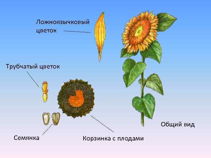 Ложноязычковый цветок Трубчатый цветок Общий вид Семянка Корзинка с плодами