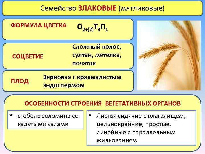 Семейство ЗЛАКОВЫЕ (мятликовые) ФОРМУЛА ЦВЕТКА СОЦВЕТИЕ ПЛОД О 2+(2)Т 3 П 1 Сложный колос,
