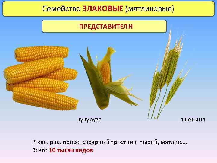 Семейство ЗЛАКОВЫЕ (мятликовые) ПРЕДСТАВИТЕЛИ кукуруза пшеница Рожь, рис, просо, сахарный тростник, пырей, мятлик…. Всего