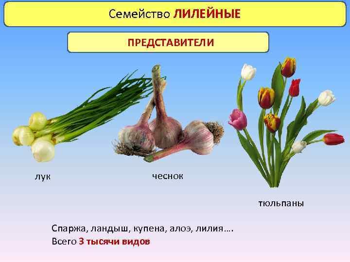 Семейство ЛИЛЕЙНЫЕ ПРЕДСТАВИТЕЛИ лук чеснок тюльпаны Спаржа, ландыш, купена, алоэ, лилия…. Всего 3 тысячи