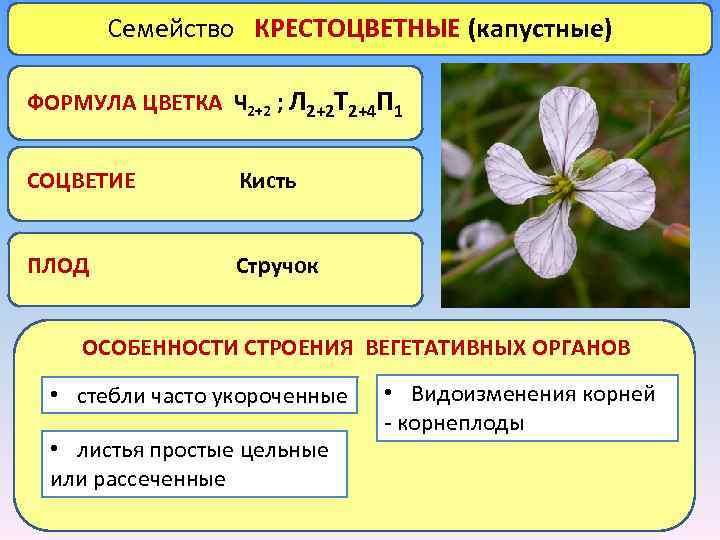 Семейство КРЕСТОЦВЕТНЫЕ (капустные) ФОРМУЛА ЦВЕТКА Ч 2+2 ; Л 2+2 Т 2+4 П 1