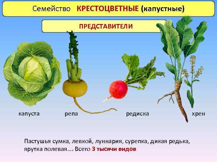 Семейство КРЕСТОЦВЕТНЫЕ (капустные) ПРЕДСТАВИТЕЛИ капуста репа редиска Пастушья сумка, левкой, луннария, сурепка, дикая редька,