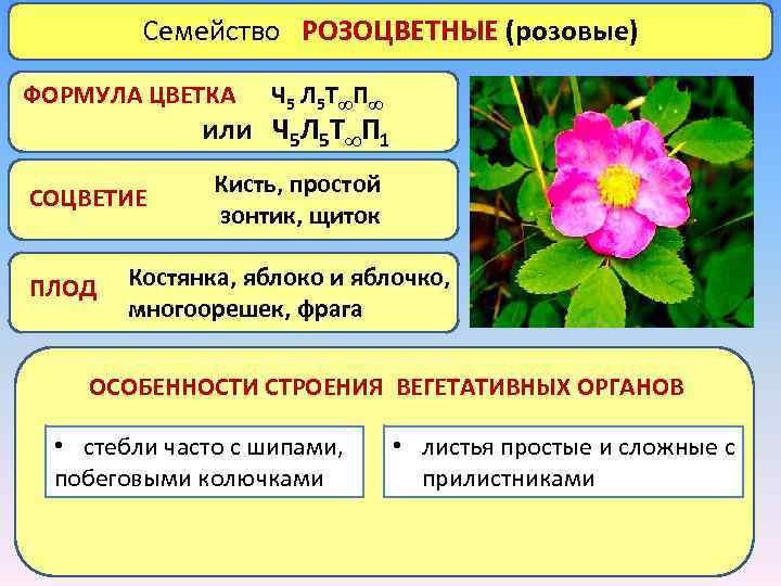 Семейство РОЗОЦВЕТНЫЕ (розовые) ФОРМУЛА ЦВЕТКА Ч 5 Л 5 Т∞ П ∞ или Ч