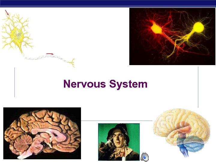 Nervous System AP Biology 2003 -2004