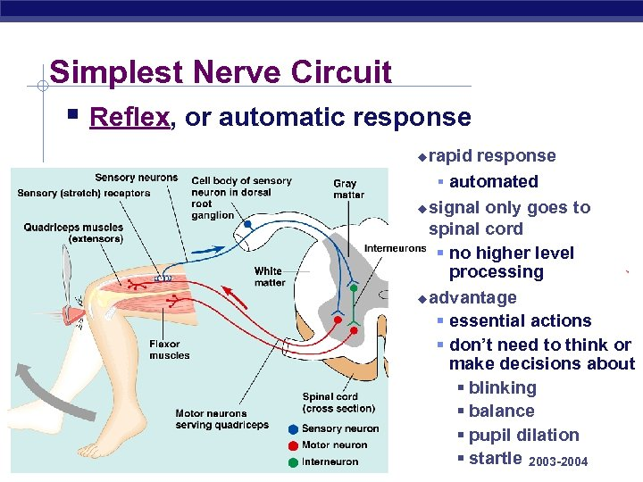 Simplest Nerve Circuit § Reflex, or automatic response rapid response § automated u signal