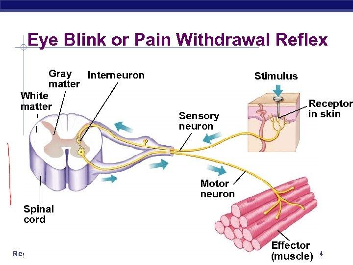 Eye Blink or Pain Withdrawal Reflex Gray Interneuron matter White matter Stimulus Sensory neuron