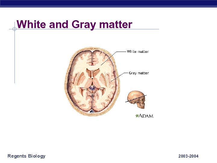 White and Gray matter Regents Biology 2003 -2004