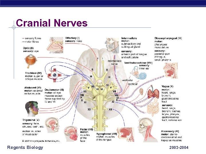 Cranial Nerves Regents Biology 2003 -2004
