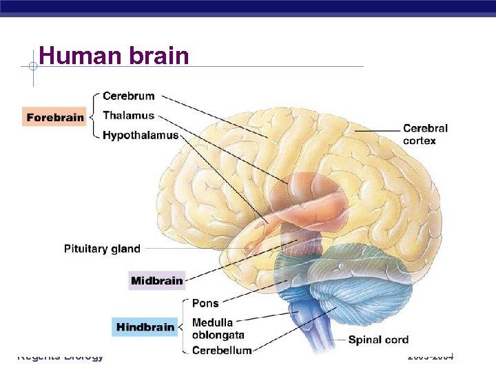 Human brain Regents Biology 2003 -2004