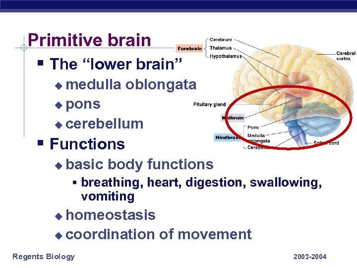 """Primitive brain § The """"lower brain"""" medulla oblongata u pons u cerebellum u §"""