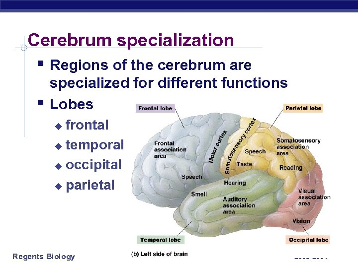 Cerebrum specialization § Regions of the cerebrum are § specialized for different functions Lobes