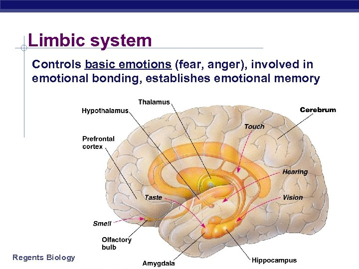 Limbic system Controls basic emotions (fear, anger), involved in emotional bonding, establishes emotional memory