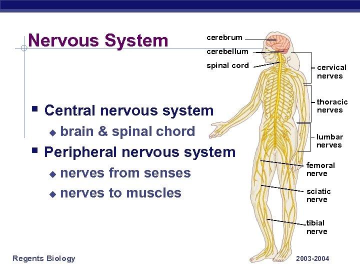 Nervous System cerebrum cerebellum spinal cord § Central nervous system u brain & spinal