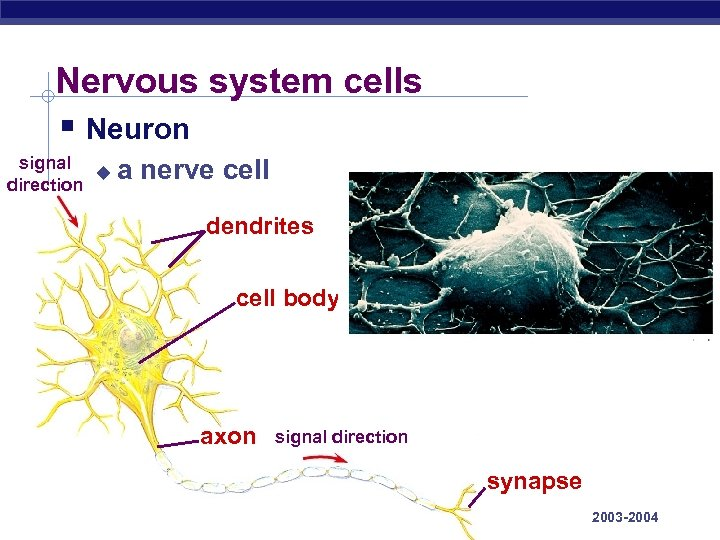 Nervous system cells § Neuron signal u direction a nerve cell dendrites cell body