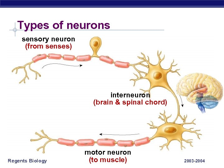 Types of neurons sensory neuron (from senses) interneuron (brain & spinal chord) Regents Biology
