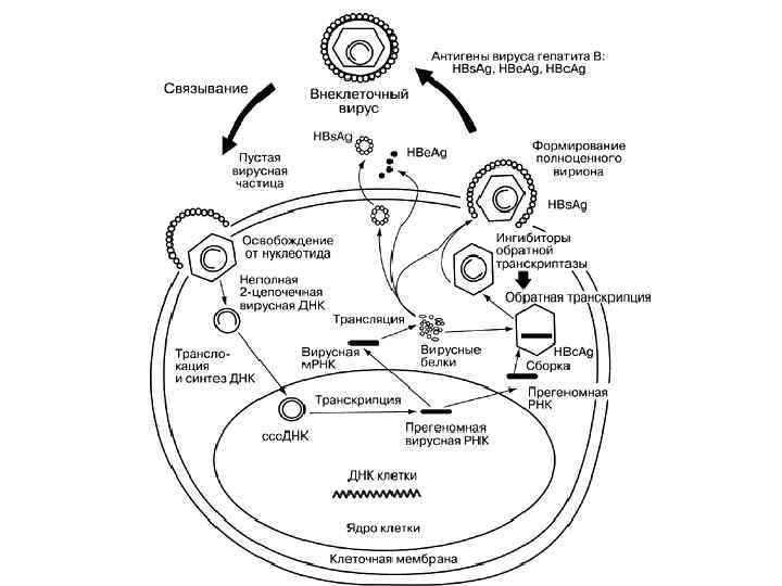 Морфология гепатита b