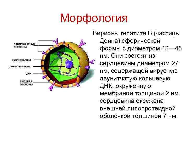 Морфология Вирионы гепатита В (частицы Дейна) сферической формы с диаметром 42— 45 нм. Они