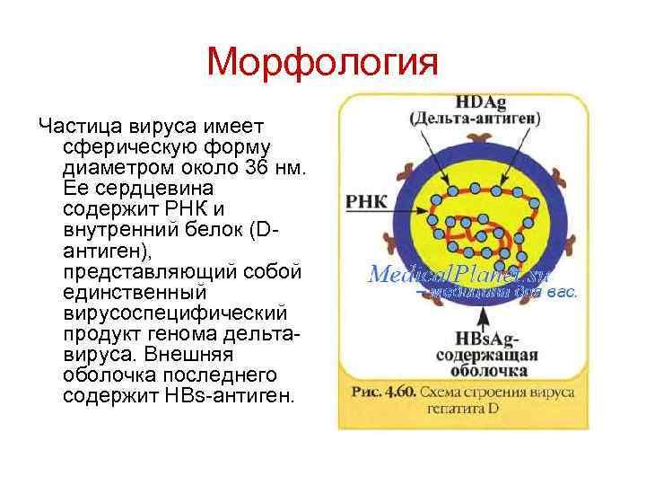 Морфология Частица вируса имеет сферическую форму диаметром около 36 нм. Ее сердцевина содержит РНК