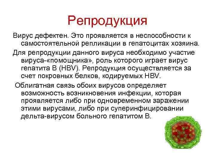 Репродукция Вирус дефектен. Это проявляется в неспособности к самостоятельной репликации в гепатоцитах хозяина. Для