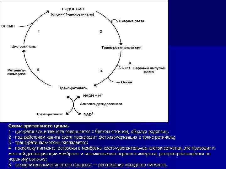 Схема зрительного цикла. 1 - цис-ретиналь в темноте соединяется с белком опсином, образуя родопсин;